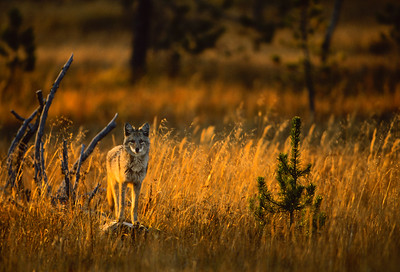 Coyote in Morning Light