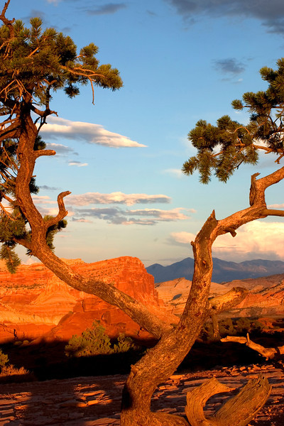 Limbs to the Sky... Capitol Reef National Park with the Henry Mountains in the distance.