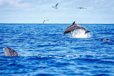 Wild bottle-nose dolphins off the coast of the Azores