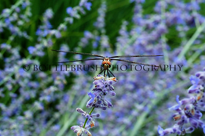 Dragonfly in Lavender.