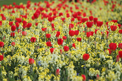 Tulips of London
