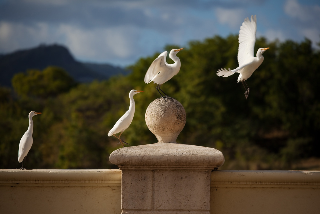 egrets st lucia