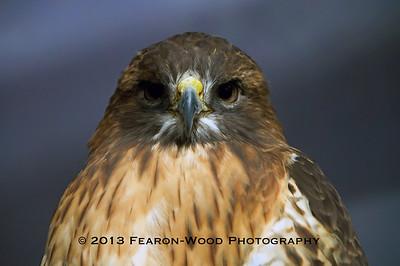 Red-shouldered hawk Florida