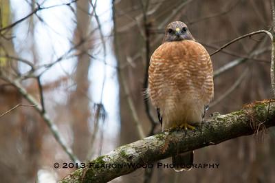 Red-shouldered hawk Highlands Hammock State Park Sebring, Florida