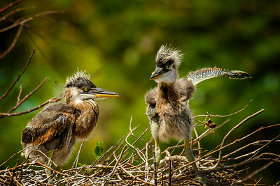 They Went That a Way.  National prize winner.  These are juvenile Great Blue Heros