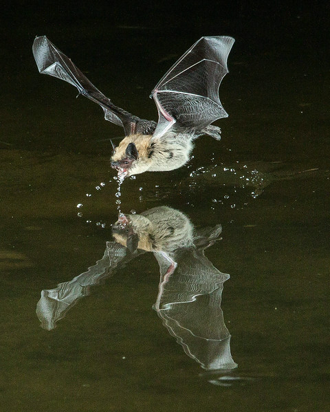 Bat Drinking.  Image won some national attention.