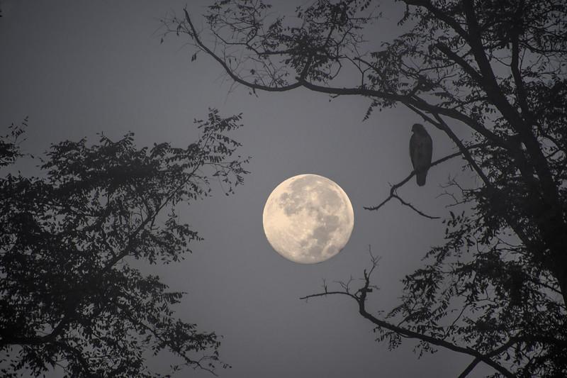hawk and moon3.jpg
