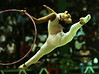 Cuban Daily Parra performs during the hoop competition of rythmic gymnastics at the Central American and Caribbean Games in Maracaibo, Venezuela, Wednesday, August 12, 1998. Parra finished fourth in the event. (AP Photo/Douglas Engle)