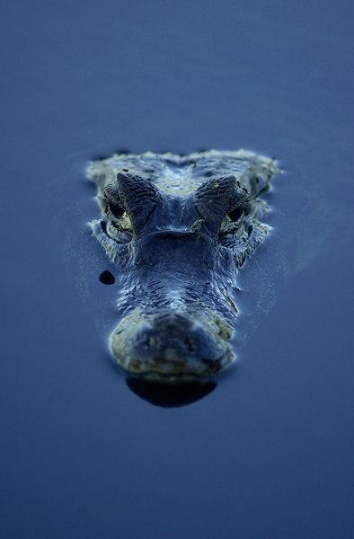 An Alligator in Brazil's Panatanal. (Photo/Douglas Engle)
