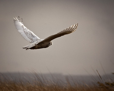 Flight of the Snowy Owl