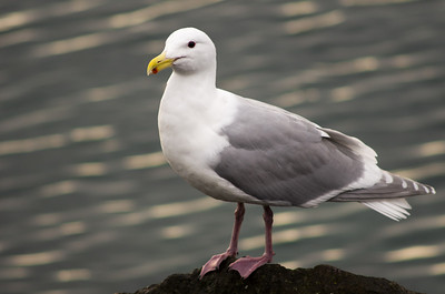 Portrait of a Seagull