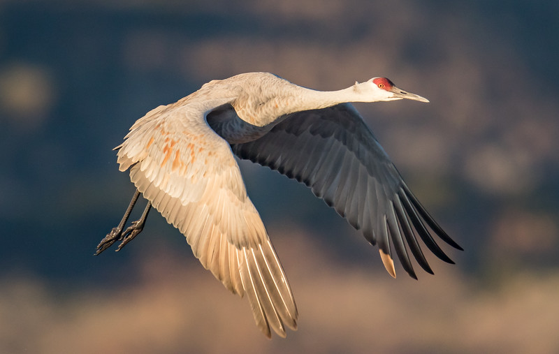 A Sandhill Crane comes in for a landing at the Crane Pond, Bosque Del Apache Wildlife Refuge, San Antonio, New Mexico.