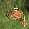"""Kiskadee Wings Out"""