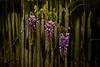 Raleigh Lilacs <br /> <br /> Raleigh North Carolina                                                              Lexington Kentucky Photographer John Lynner Peterson