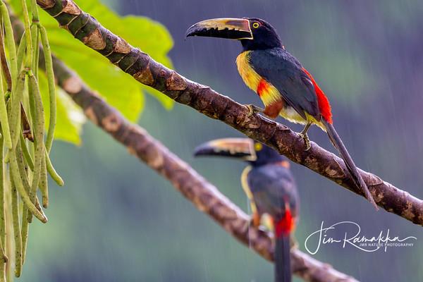Collared Aracaris in the rain