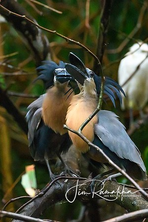 Boat-billed Heron Display