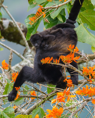 Mantled Howler Monkey - Baby on Board