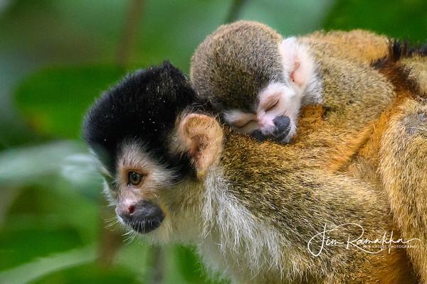 Baby on Board 3 - Squirrel Monkey