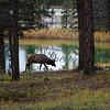 Elk skirting Jasper, BC