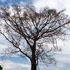 Barren tree nearby Ilham Resort, Tanjung Tuan (Cape Rachado), Port Dickson.
