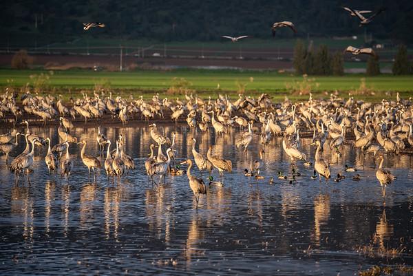 Cranes at Agamon Hachula, Israel