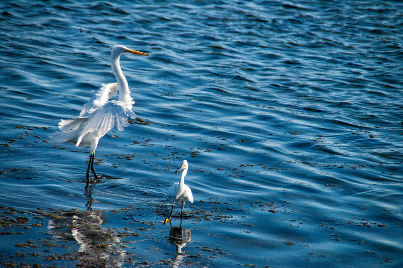 Egret Mother and Child