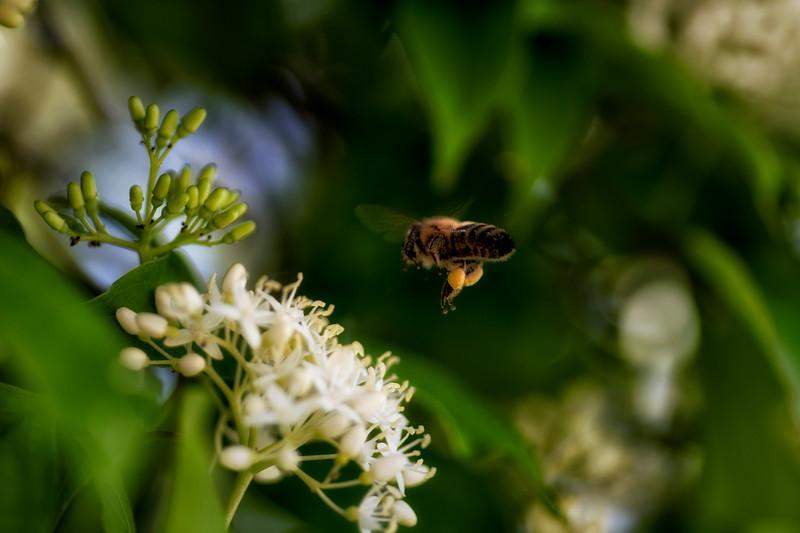 Pollen Laden Bee