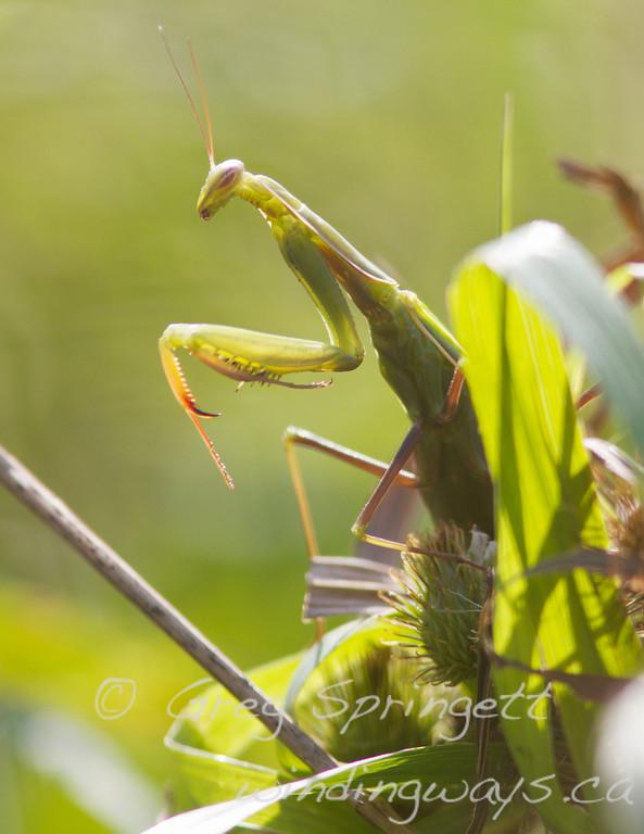 Portrait of a Mantis