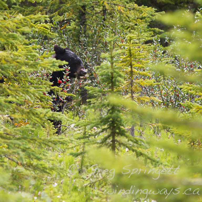 Black Bear<br /> <br /> Found this little guy not far off of the highway in Banf, feeding on the bearberries.