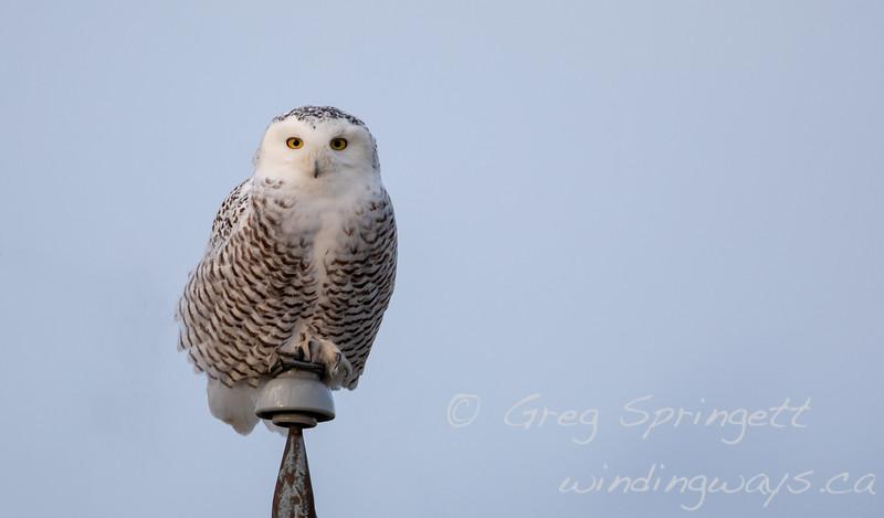 Portrait of an Snowy Owl