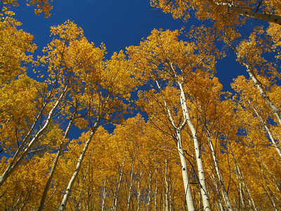 Aspen Trees in October - Colorado