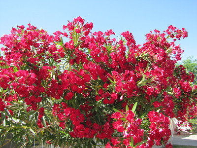 Oleander in red - Arizona