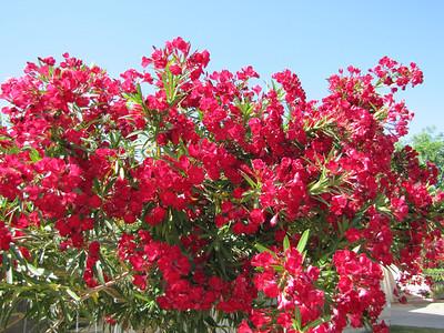 Oleander in red - Arizona