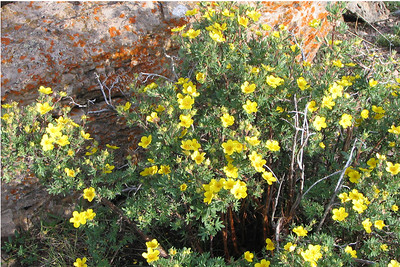 Potentilla - Colorado Wildflower