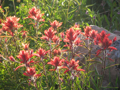 Red  Indian Paint Brush - Colorado Wildflower