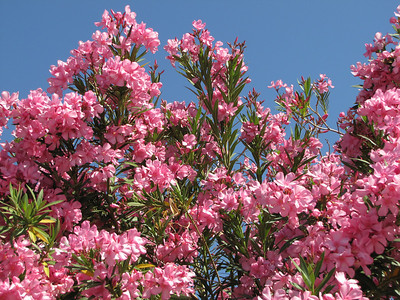 Oleander in pink - Arizona