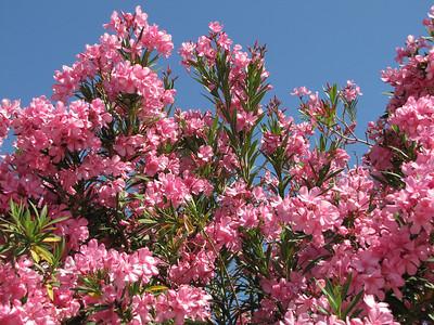 Oleander in pink - Arizona