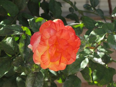 Prescott Rose - Arizona