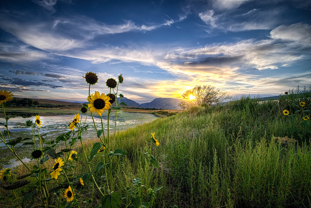 The Sunflower in the Wind