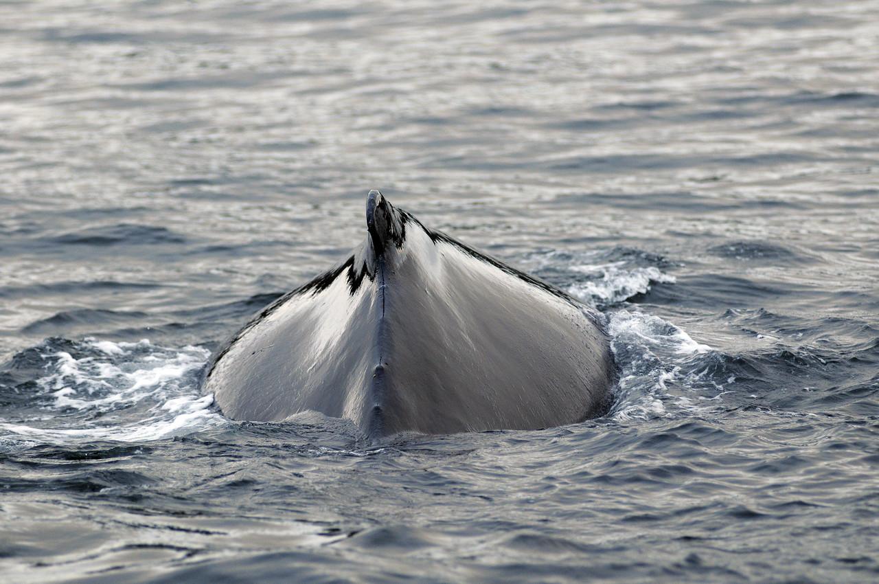 Humpback Whale Dorsel Fin