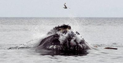 Humpback Whale Lunge Feeding 2