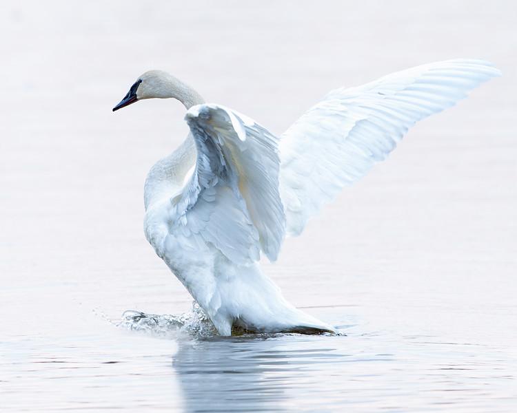 Trumpeter Swan - Winter Grace