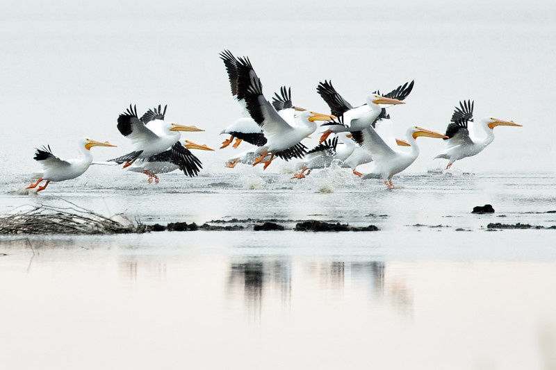 White Pelican Stampede
