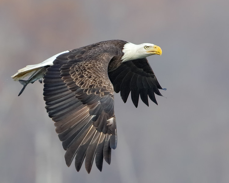 Bald Eagle Successful Fishing
