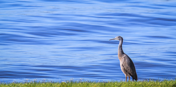 Heron on the Swan River, Perth