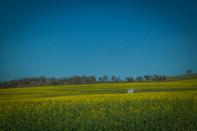Canola Fields near York