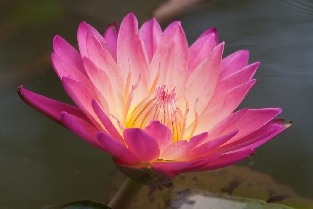 Purple Tropical Day Blooming Water Lily