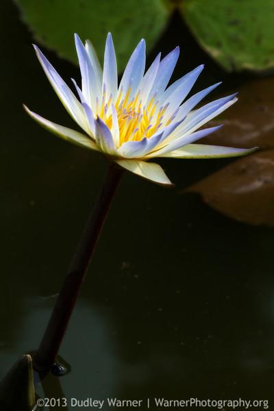 Dauben Water Lily
