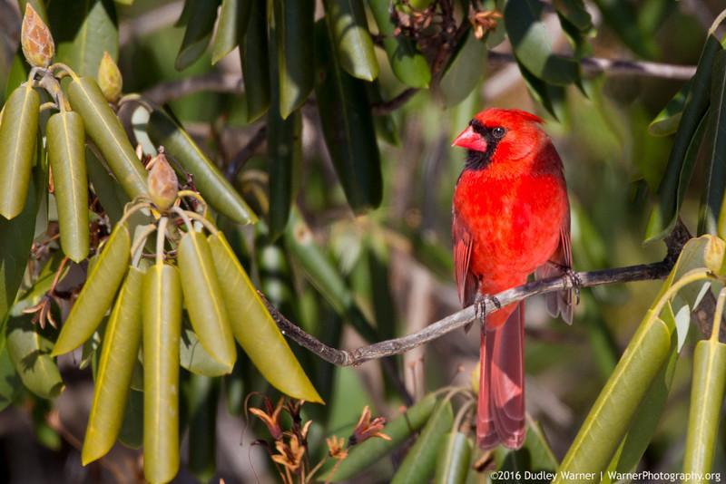 1st Cardinal of Spring