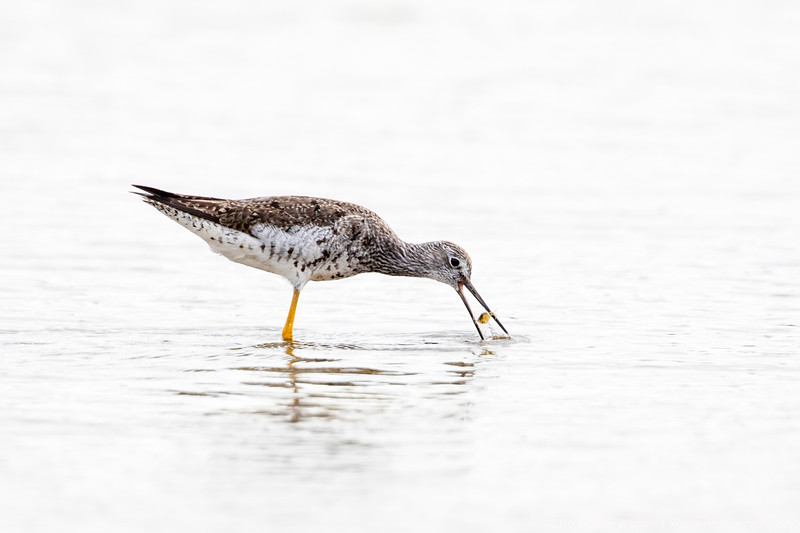 Greater Yellowlegs Catching a Crab
